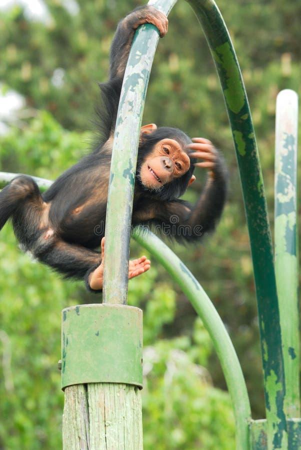 Download νεολαίες χιμπατζών στοκ εικόνα. εικόνα από ύδωρ, αδιάφορα - 17057657