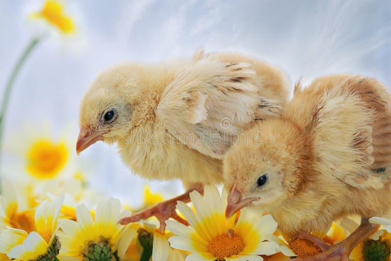 Download νεοσσοί Πάσχα στοκ εικόνα. εικόνα από βακκινίων, χνουδωτός - 17051201