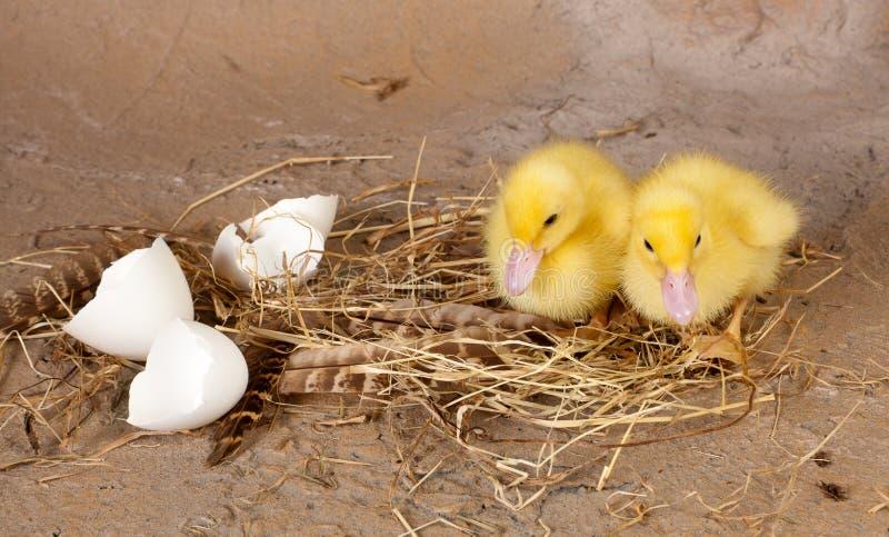 Νεοσσοί στη φωλιά στοκ εικόνα με δικαίωμα ελεύθερης χρήσης