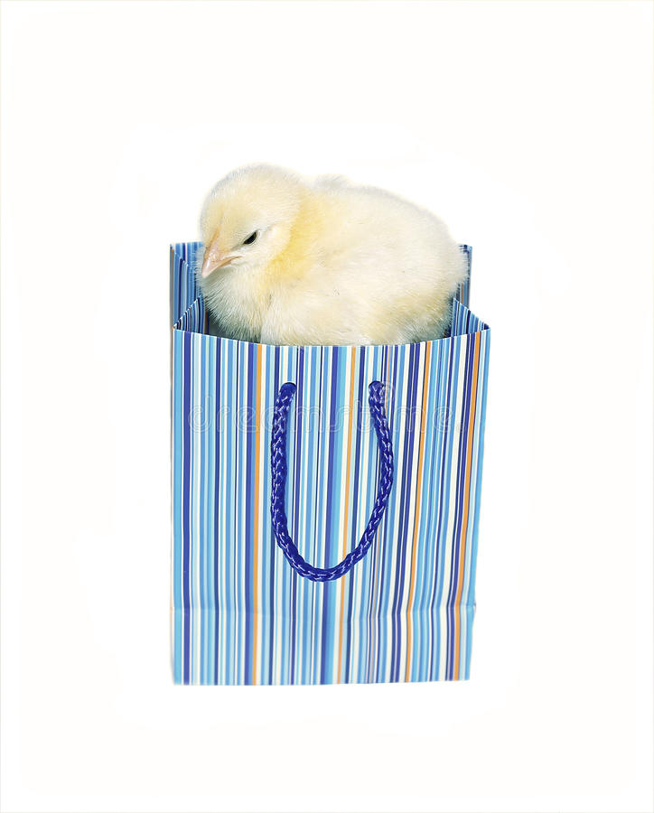 Νεοσσός λίγος κίτρινος νεοσσός στο μπλε πακέτο δώρων που απομονώνεται στοκ εικόνες