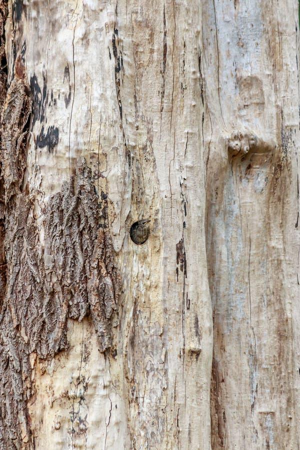 Νεοσσός δρυοκολαπτών στη φωλιά στο δέντρο στοκ εικόνες