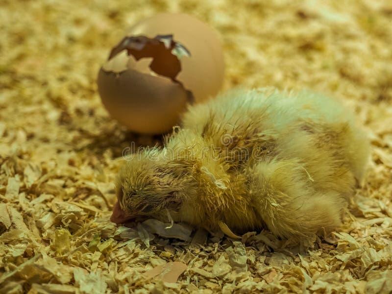 Νεοσσός κοτόπουλου στοκ εικόνες με δικαίωμα ελεύθερης χρήσης