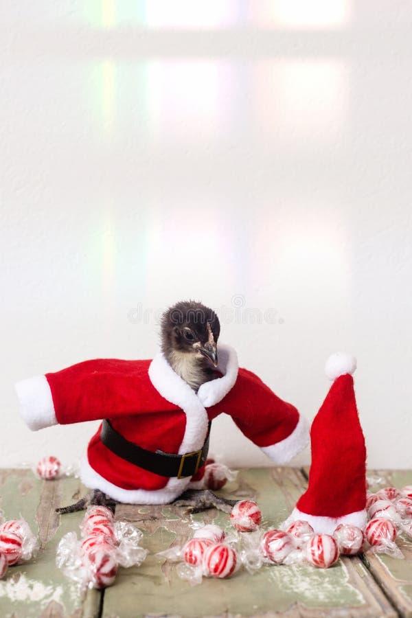 Νεοσσός μωρών στο κοστούμι santa Χριστουγέννων στοκ εικόνες