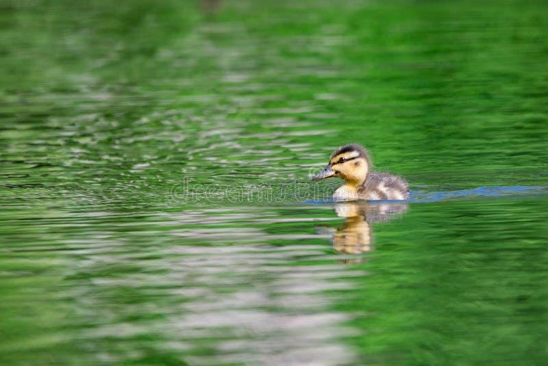 Νεοσσός που κολυμπά στη λίμνη στοκ φωτογραφία με δικαίωμα ελεύθερης χρήσης