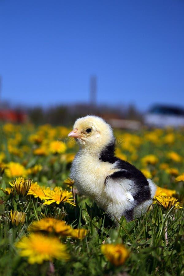 Νεοσσός στη χλόη με τα λουλούδια στοκ εικόνα με δικαίωμα ελεύθερης χρήσης