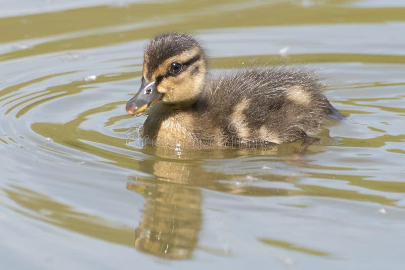 Νεοσσός στο νερό στοκ φωτογραφίες με δικαίωμα ελεύθερης χρήσης