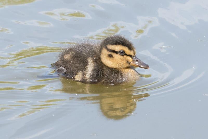 Νεοσσός στο νερό στοκ εικόνες με δικαίωμα ελεύθερης χρήσης