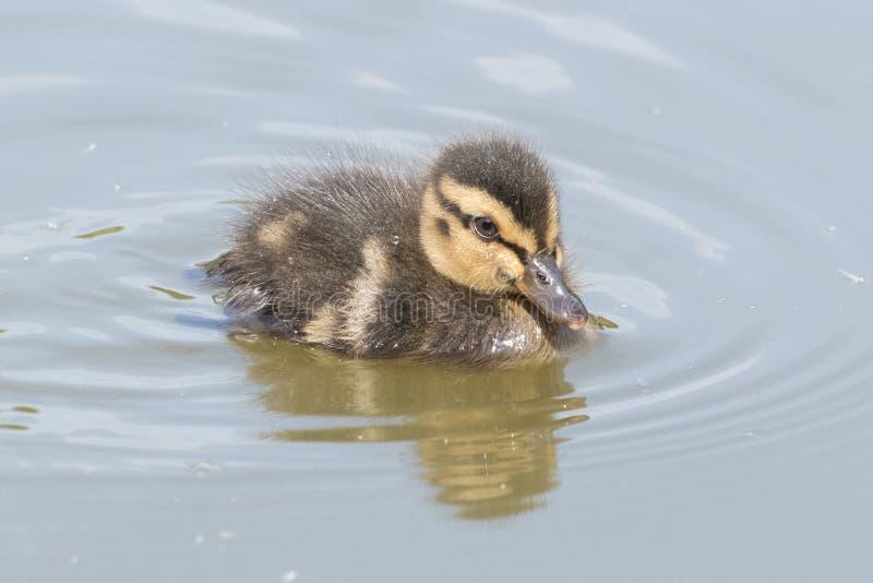 Νεοσσός στο νερό στοκ φωτογραφία με δικαίωμα ελεύθερης χρήσης