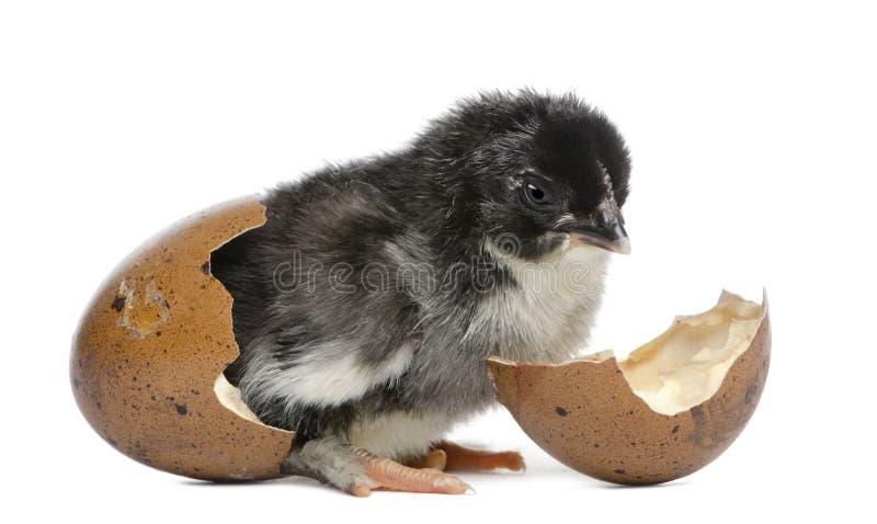 Νεοσσός Marans, 15 ώρες παλαιές, που στέκεται στο αυγό στοκ φωτογραφίες με δικαίωμα ελεύθερης χρήσης