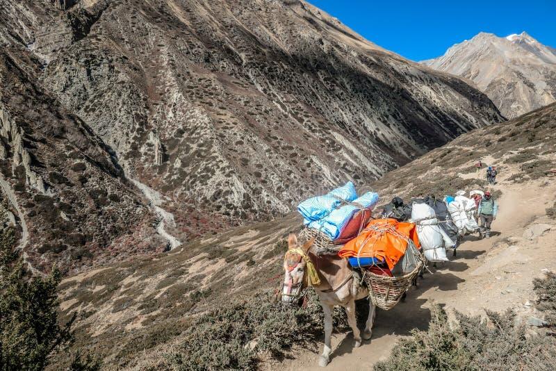 Νεπάλ - γάιδαρος στο ίχνος στοκ εικόνες