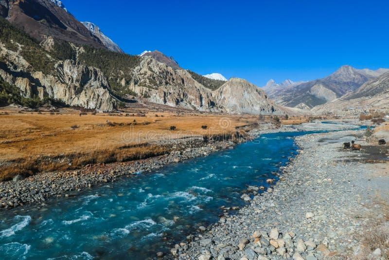 Νεπάλ - κοιλάδα Manang με τον ποταμό και Yaks στοκ εικόνες