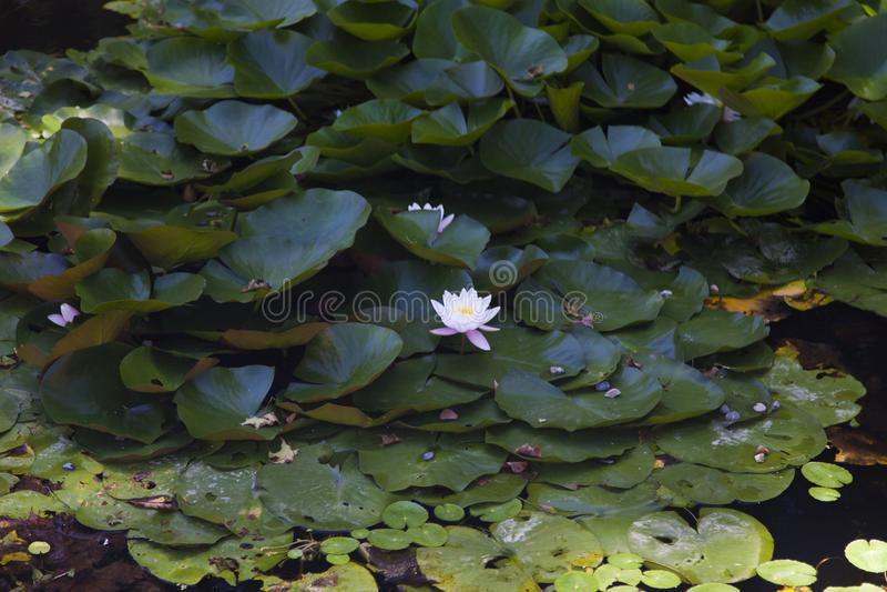 Νερό-κρίνοι σε μια λίμνη στοκ εικόνες