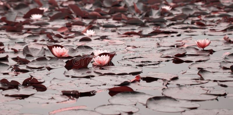 Νερό lillies στοκ φωτογραφία