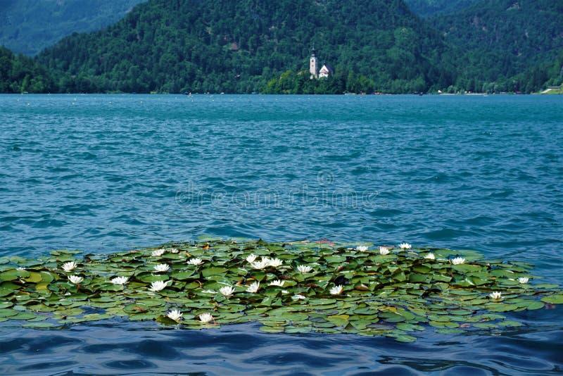 Νερό lillys στη λίμνη που αιμορραγείται με το αιμορραγημένο νησί στοκ φωτογραφία