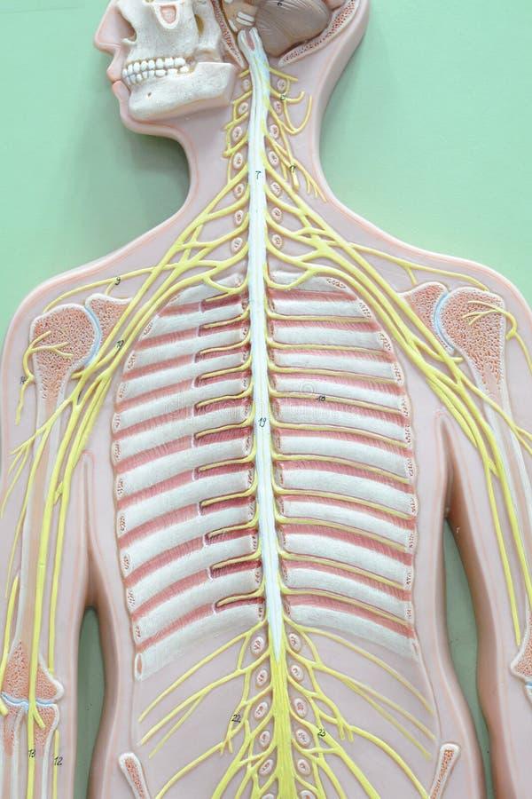 Νευρικό σύστημα στοκ φωτογραφίες με δικαίωμα ελεύθερης χρήσης