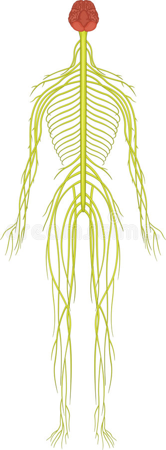 νευρικό σύστημα διανυσματική απεικόνιση