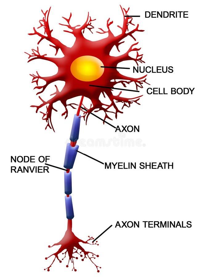 νευρώνας κυττάρων διανυσματική απεικόνιση