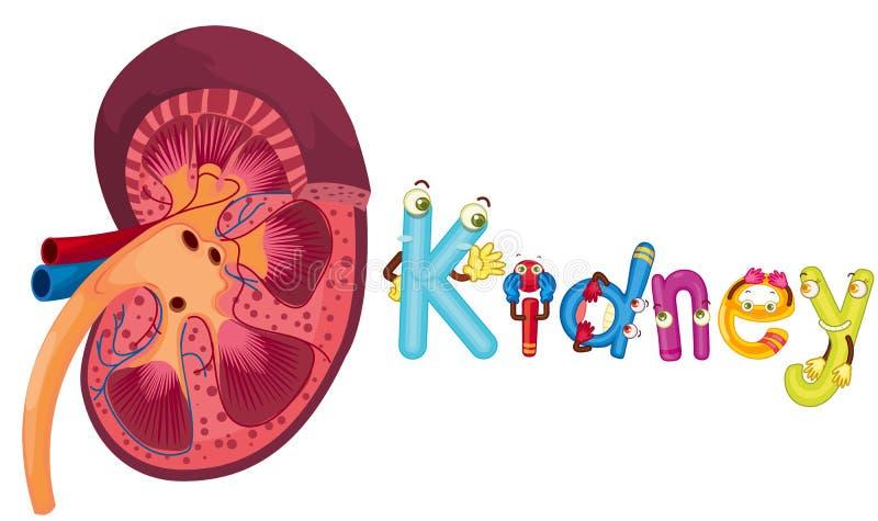 νεφρό διανυσματική απεικόνιση