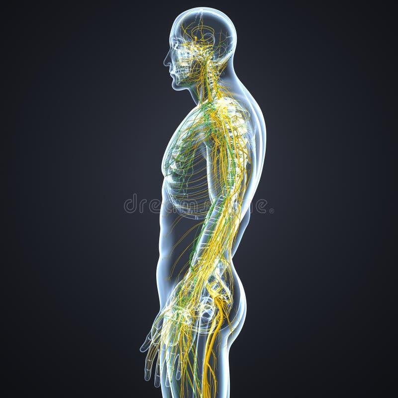 Νεύρα και λεμφαδένες με την πλευρική άποψη σώματος σκελετών ελεύθερη απεικόνιση δικαιώματος