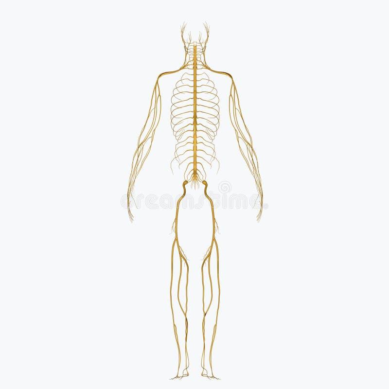 νεύρα διανυσματική απεικόνιση