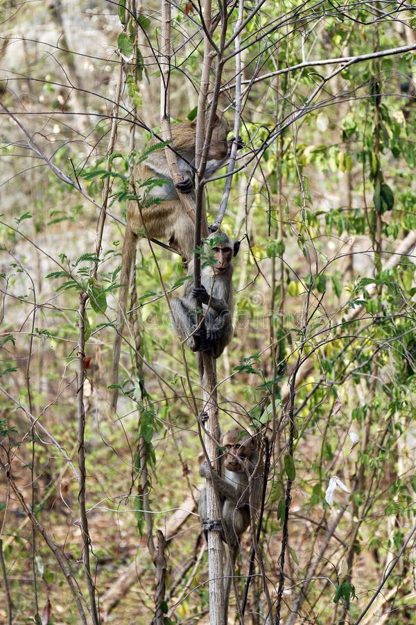 Νησί πιθήκων στα δέντρα στα άγρια τροπικά τροπικά δάση στοκ φωτογραφία με δικαίωμα ελεύθερης χρήσης