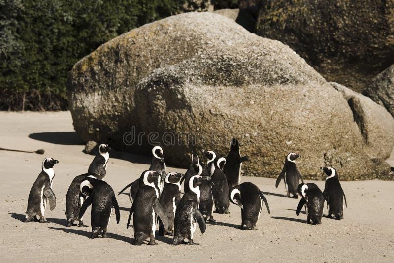 Νησί του Καίηπ Τάουν Penguin στη Νότια Αφρική στοκ εικόνες