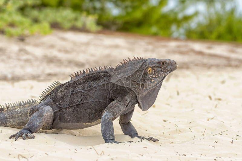 Νησί Iguana, σαύρες όπως τους δράκους και αρχαίος περίπατος ερπετών στην άμμο στοκ φωτογραφία με δικαίωμα ελεύθερης χρήσης