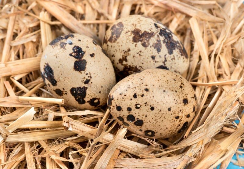 νησοπέρδικες τρία αυγών στοκ φωτογραφία
