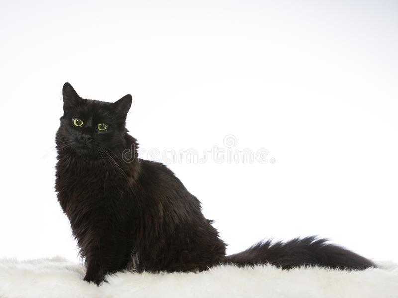 Νορβηγική δασική γάτα potrait σε ένα στούντιο στοκ εικόνα με δικαίωμα ελεύθερης χρήσης