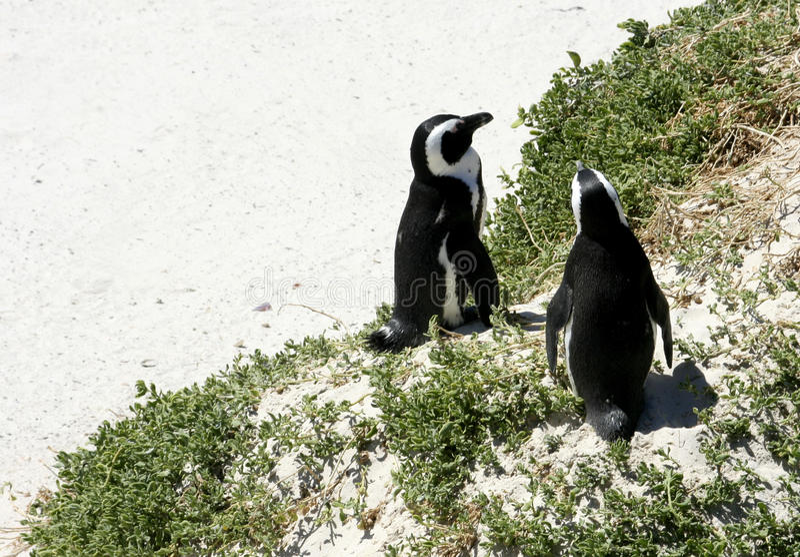 Νοτιοαφρικανικά penguins σε μια παραλία στοκ εικόνα με δικαίωμα ελεύθερης χρήσης