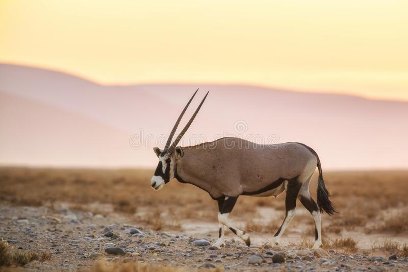 Νοτιοαφρικανικό gazella Oryx - gazella Oryx στοκ φωτογραφίες με δικαίωμα ελεύθερης χρήσης