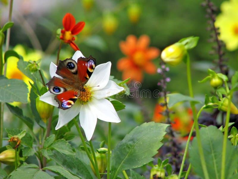 ντάλια πεταλούδων peacock στοκ εικόνες