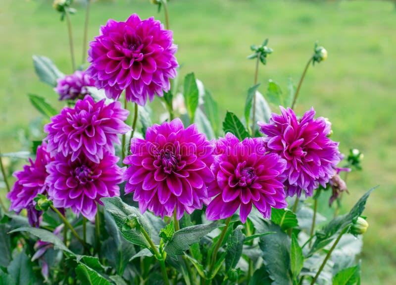Ντάλια λουλουδιών στοκ εικόνα με δικαίωμα ελεύθερης χρήσης
