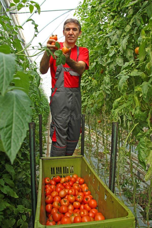 Ντομάτα επιλογής στοκ φωτογραφία