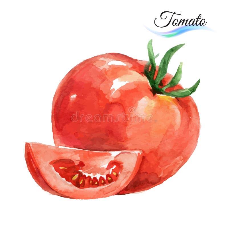 Ντομάτα Watercolor διανυσματική απεικόνιση