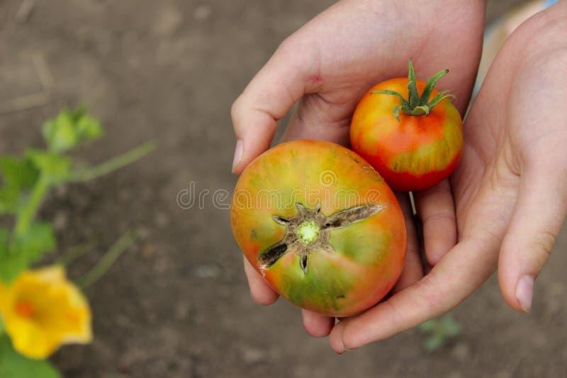 Ντομάτες εκμετάλλευσης νέων κοριτσιών στα χέρια της, καλλιεργημένος πυροβολισμός στοκ φωτογραφία με δικαίωμα ελεύθερης χρήσης