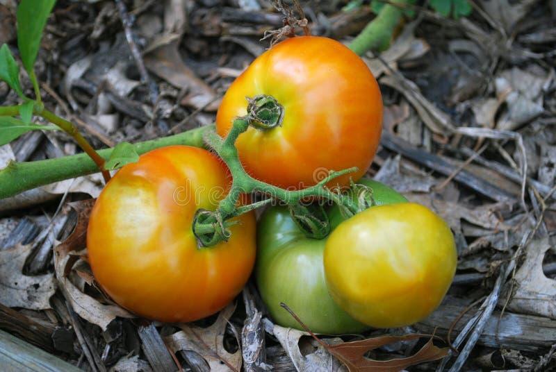 ντομάτες κήπων στοκ φωτογραφίες με δικαίωμα ελεύθερης χρήσης