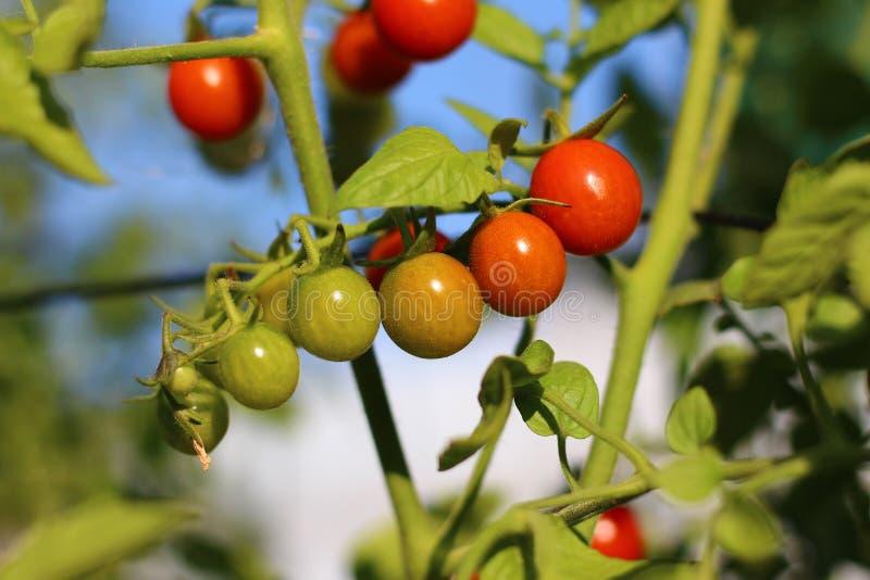 Ντομάτες κερασιών της διαφορετικής ripeness ανάπτυξης στον κήπο στοκ εικόνα