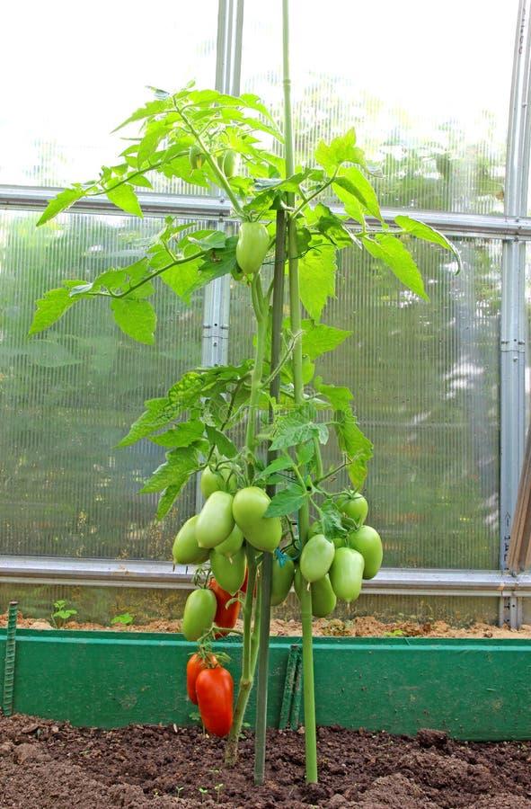 Ντομάτες σε ένα θερμοκήπιο στοκ εικόνες