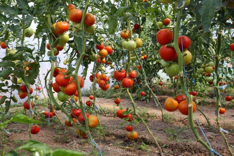 Ντομάτες σε ένα θερμοκήπιο στοκ εικόνα με δικαίωμα ελεύθερης χρήσης