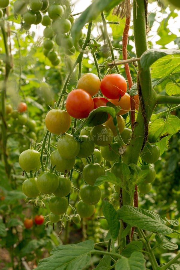 Ντομάτες σε μια άμπελο στοκ εικόνα