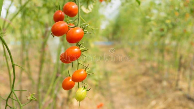 Ντομάτες στα θερμοκήπια στοκ φωτογραφίες