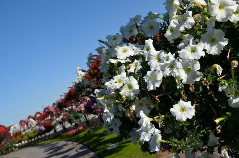 Ντουμπάι, κήπος θαύματος, λουλούδια, καλοκαίρι, ήλιος στοκ φωτογραφίες
