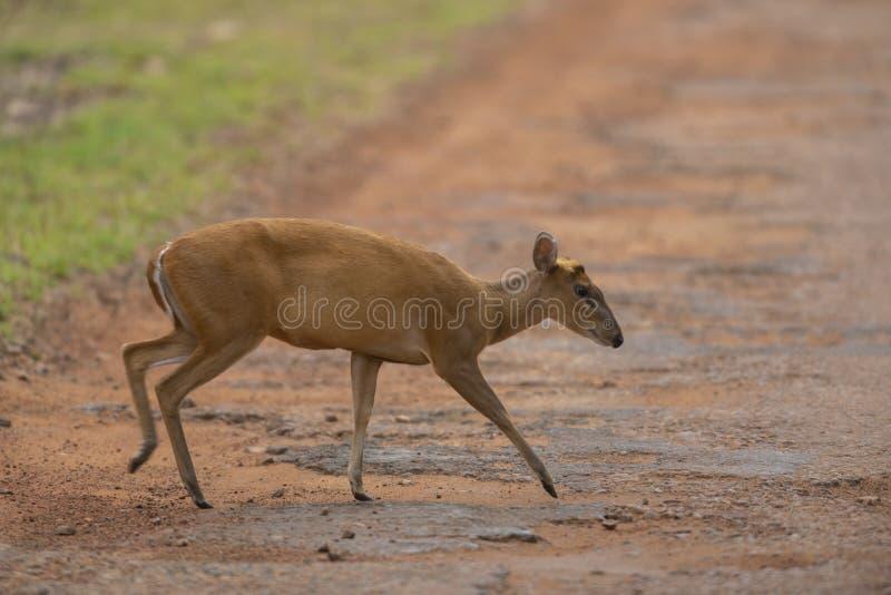 Ντροπαλά αποφλοιώνοντας ελάφια που διασχίζουν το δρόμο στην επιφύλαξη τιγρών Tadoba Andhari, Chandrapur, Maharashtra, Ινδία στοκ εικόνες