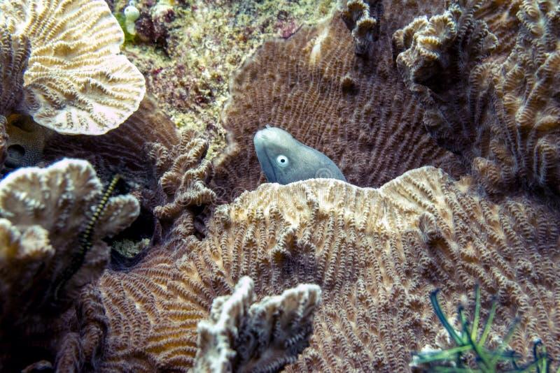 Ντροπαλό χέλι Moray στην κοραλλιογενή ύφαλο - Μπόρνεο, Μαλαισία στοκ φωτογραφίες με δικαίωμα ελεύθερης χρήσης