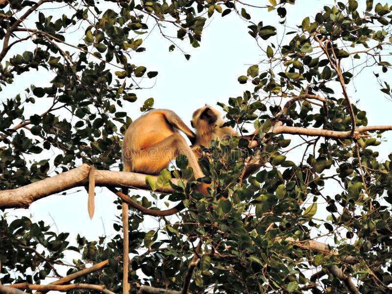 Ντροπαλοί πίθηκοι στοκ φωτογραφίες με δικαίωμα ελεύθερης χρήσης