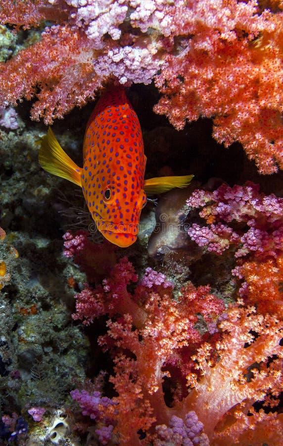 Ντροπαλό grouper κρύψιμο στοκ φωτογραφίες