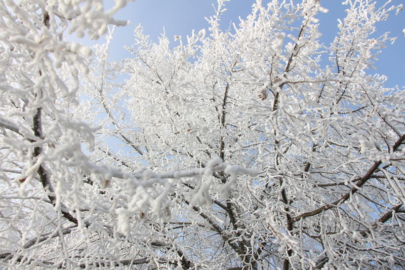 Ντυμένο παγετός δέντρο Linden στοκ εικόνες