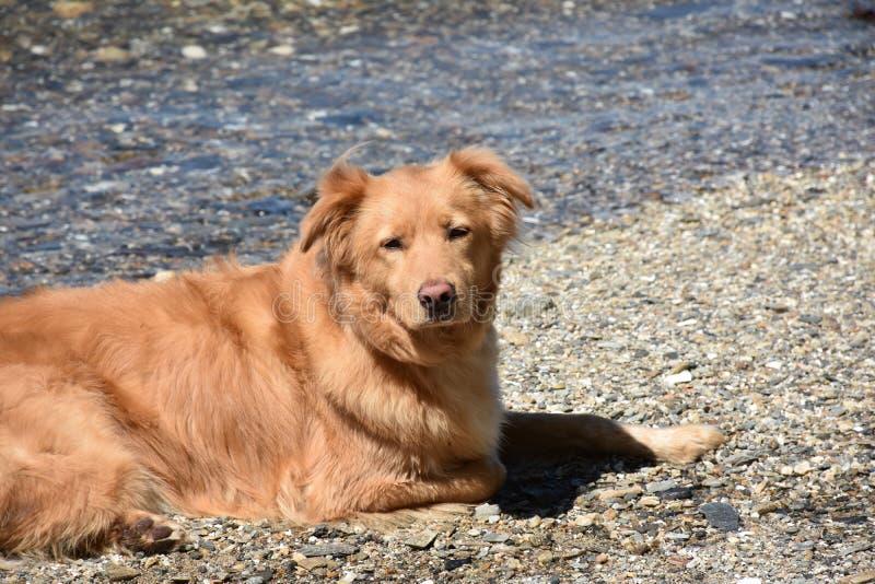 Νυσταλέο αντιμέτωπο σκυλί παπιών Little Red σε μια παραλία στοκ φωτογραφίες