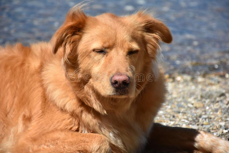 Νυσταλέο σκυλί παπιών Little Red που στηρίζεται σε μια παραλία στοκ εικόνα